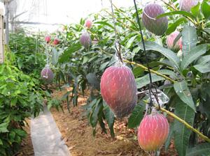 マンゴー畑.jpg