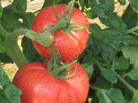 tomate-1.jpg